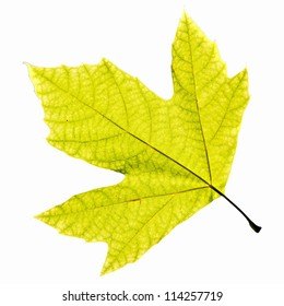 Lonely leaf of a plane tree, isolated on a white background. EPS 10 vector illustration.