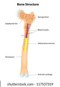 Long Bone Anatomy. Vector scheme