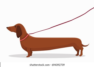 Long dachshund character for a walk. An isolated dog for your design. Red collar with rivets