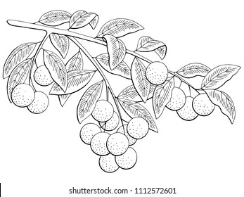Longan fruit graphic branch black white isolated sketch illustration vector