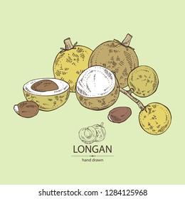 Longan: fruit and longan slice. Vector hand drawn illustration.