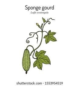 Loofah (Luffa acutangula), or sponge gourd, medicinal plant. Hand drawn botanical vector illustration