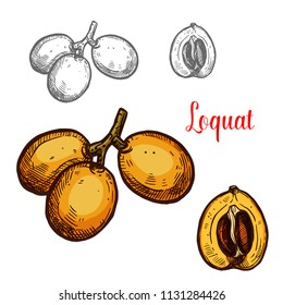 Loquat yellow tropical fruit sketch. Vector botanical design of loquat whole or cut with seed for farm fruit market, juice or jam package