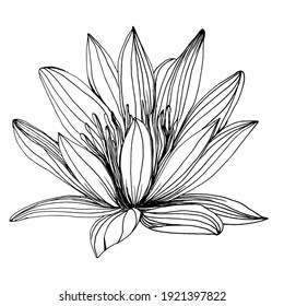 lotus flower. Floral botanical flower. Isolated illustration element. Vector hand drawing wildflower for background, texture, wrapper pattern, frame or border.