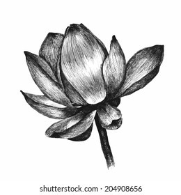 Lotus flower isolated on white. Hand drawn sketch. Vector illustration
