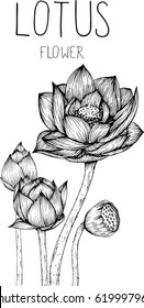 lotus flowers drawing illustration vector and clip-art.