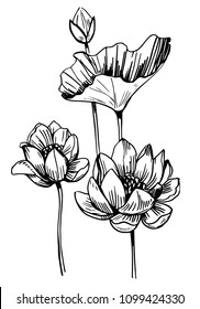 Lotus sketch. Hand drawn illustration. Vector