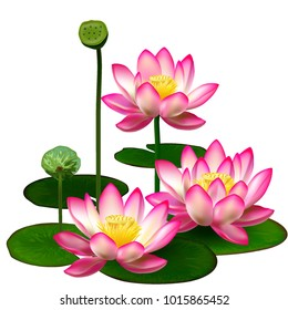 Lotus. Water lily. A realistic image of a pink lotus flower.