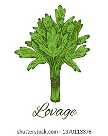 Lovage bunch colorful hand drawn sketch. Retro botanical art. Levisticum officinale. Medical herb and spice. Vintage green raw lovage. Herbal vector illustration isolated on white background