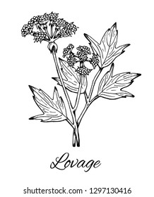 Lovage. Hand drawn ink sketch of Levisticum officinale. Vintage line art, Medicinal herb and spice, flowers with leaves. Botanical vector illustration isolated on white.