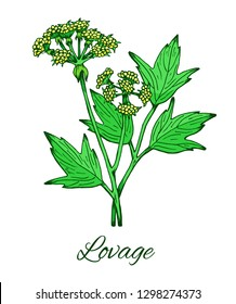 Lovage. Hand drawn sketch of Levisticum officinale. Medicinal herb and spice, flowers with leaves. Botanical  color vector illustration isolated on white.