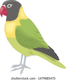 lovebird parrot on a white background
