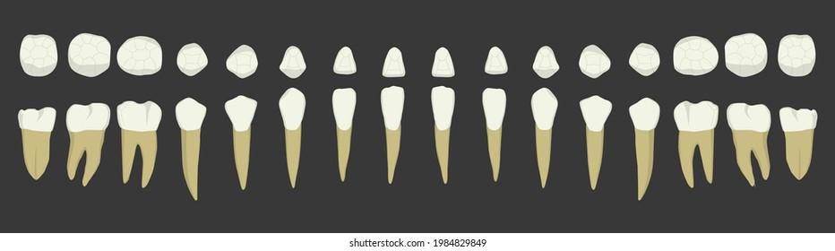 Lower Teeth Anatomy Chart Dental Vector Medical Dentist Realistic Set White Tooth Illustrations Artwork