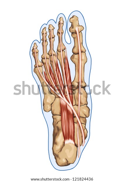 Lubricals - Anatomy of leg and foot human muscular and bones system