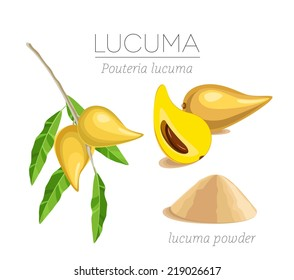 Lucuma fruit on the branch, cut fruit and powder. Organic superfood. Vector image
