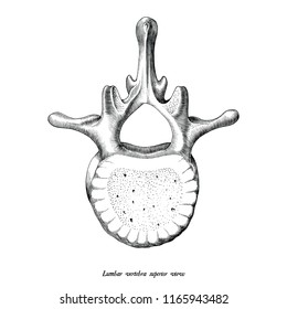 Lumbar vertebra superior view anatomy hand draw vintage clip art isolated on white background
