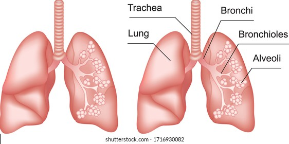 Lungs anatomy with inscription. Internal organs of the human body isolated on white background. Respiratory system realistic vector illustration for medicine, healthcare and science.