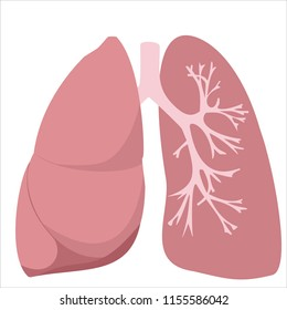 Lungs, trachea and bronchi