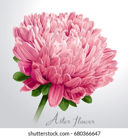Luxurious pink vector Aster flower for floral decoration