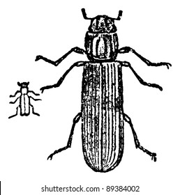 Lyctus beetle, vintage engraved illustration. Magasin Pittoresque 1875.