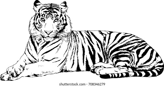 lying striped tiger before hunting drawn in ink freehand sketch