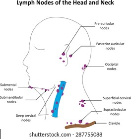 Lymph Nodes of the Head and Neck Labelled Diagram