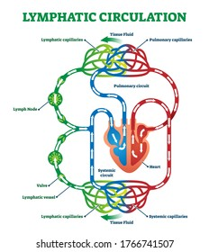 Lymphatic circulation system with lymph transportation to organs an heart vector illustration. Labeled anatomical scheme with part of cardiovascular network. Pulmonary circuit medical explanation.