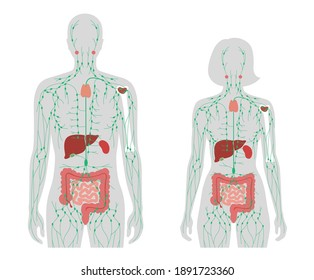 lymphatic and immune system concept. Thymus, liver, appendix and tonsil in man and woman silhouette. Red bone marrow, spleen, peyers patches and intestine anatomy. Medical poster vector illustration.