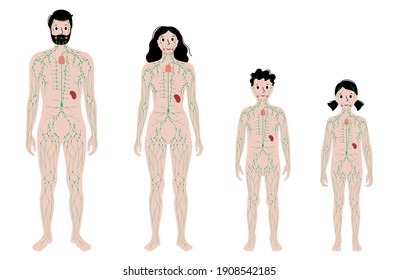 lymphatic system concept. Lymph nodes anatomy. Ducts in human silhouette. Lymphatic vessels, tonsil, thymus, spleen in man, woman, boy and girl body. Medical anatomical poster flat vector illustration