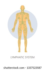 Lymphatic system isolated anatomical structure medicine and healthcare vector lymph immunity internal organs anatomical structure human physiology educational model lymphoid person healthy function