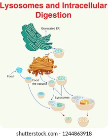Lysosomes and Intracellular digestion