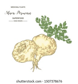 Maca peruvian plant. Hand drawn root of maca. Medical plants collection. Superfood. Vector illustration botanical.