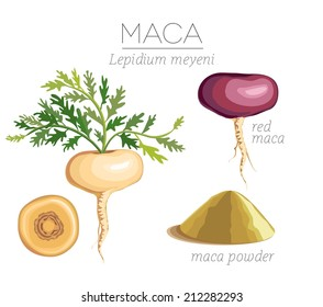 Maca Peruvian superfood. Roots and powder. Vector image