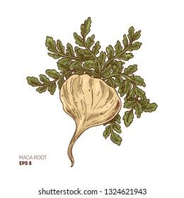 Maca plant illustration. Engraved style super food. Vector illustation