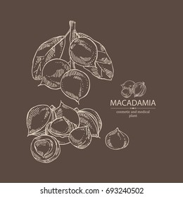 Macadamia: branch and macadamia nuts. Cosmetic and medical plant. Vector hand drawn illustration.