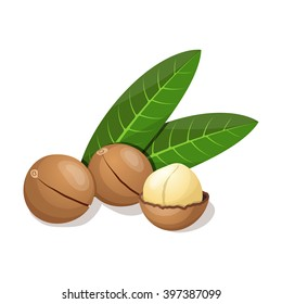 Macadamia with leafs isolated on white. Vector illustration.