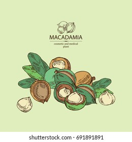 Macadamia: leaves and macadamia nuts. Cosmetic and medical plant. Vector hand drawn illustration.
