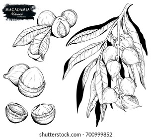 Macadamia nut and branch. Black on white