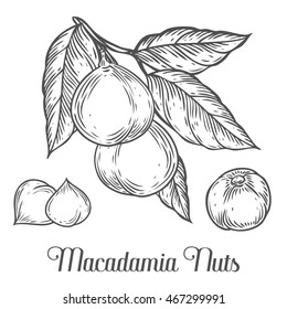 Macadamia nut oil, fruit, berry, leaf, branch, plant. Hand drawn engraved vector sketch etch illustration. Ingredient for hair and body care cream lotion treatment, moisture. Black on white background
