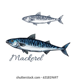 Mackerel sea fish isolated sketch. Atlantic mackerel predatory fish with silver blue body and wavy black lines on spine. Fishing sport badge, fish market label, seafood restaurant menu design