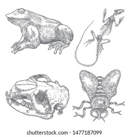 Magic animal elements set. Hand drawn sketch for magician collection. Witchcraft spell symbols, beaver head skull bone, reptile iguana lizard skeleton, fly insect, frog or toad. Vector.