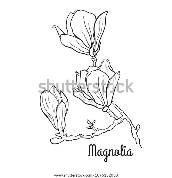 Magnolia Flower Branch Black White Line Stock Vector Royalty Free