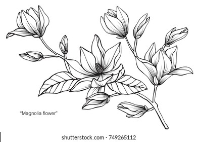 Magnolia flower. Drawing and sketch with black and white line-art. On white background.