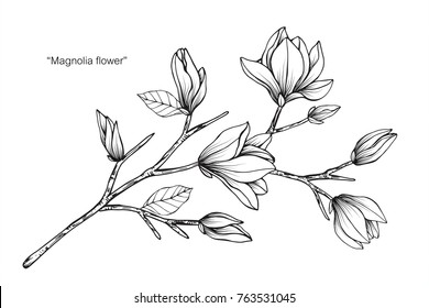 Magnolia flower drawing and sketch with black and white line-art.