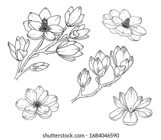 Magnolia flower drawings. Black and white with line art on white backgrounds. Hand Drawn Botanical Illustrations.