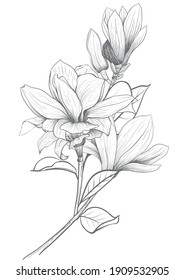 Magnolia flower Hand drawing and sketch,line art on white backgrounds hand drawn botanical.vector magnolia for spring background texture wrapper pattern.