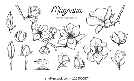 Magnolia flower set. Vector hand drawn botanical illustration. Isolated objects on white