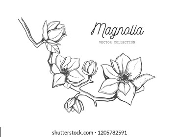 Magnolia flower . Vector hand drawn botanical illustration. Isolated objects on white