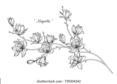 Magnolia  flowers drawing with line-art on white backgrounds.