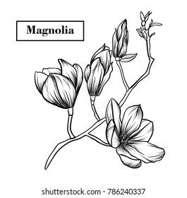 Magnolia flowers drawing.Vector, illustration and clip art on white backgrounds.Idea for business visit card, typography vector,print for t-shirt.